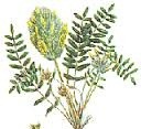 Astragalus Herb for Emphysema